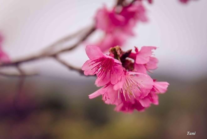 Hoa anh đào tại đảo Pá Khoang