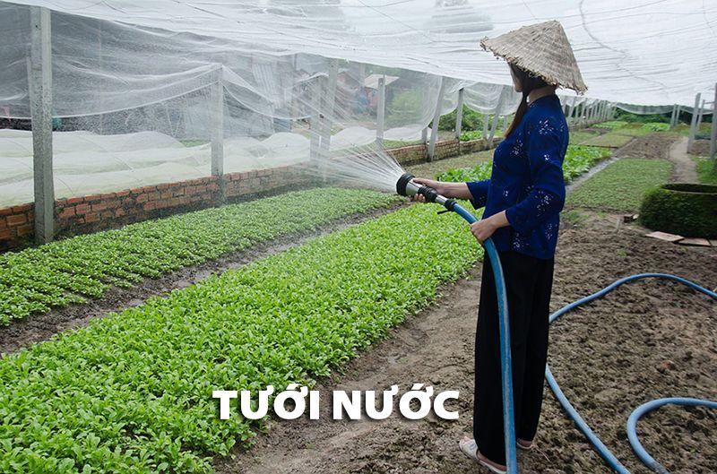 Tưới nước khi trồng rau sạch